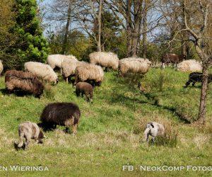 """Schapen grazen """"in opdracht"""" van de Gemeente Noordenveld."""